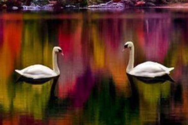 Pareja de cisnes en un lago. La foto transmite la calma que se desea acudiendo a terapia de pareja