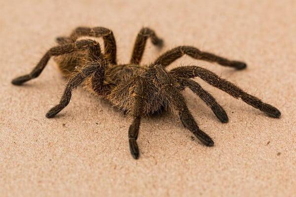 Fobia, se ve una araña, tarántula